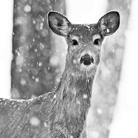 WHITETAIL IN FALLING SNOW