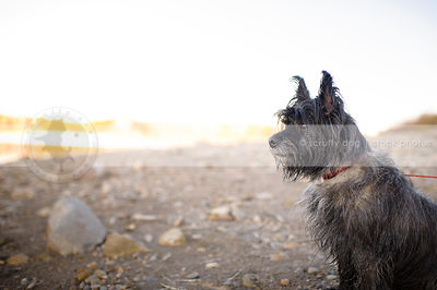 alert scruffy terrier dog sitting on beach