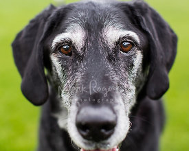 Senior Black Dog with White Face Looking Toward Camera