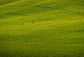 Deer in green wheat field