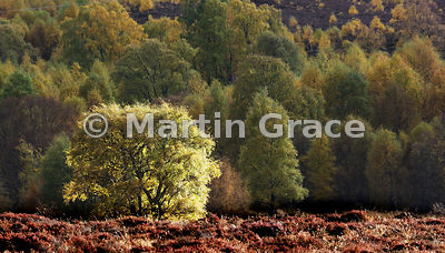 Autumnal birch foliage lit by the late afternoon sun, Kingussie, Scottish Highlands