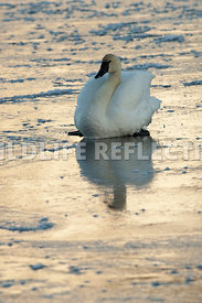 trumpeter_swan_sitting_ice_twilight_neck_curl20120101_0004