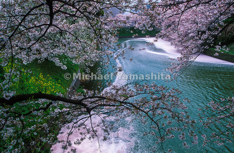 Cherry blossoms fall to the water at the Imperial Palace, Tokyo, Japan