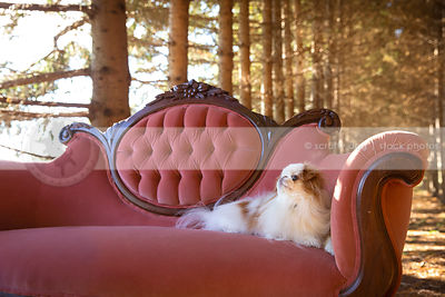 cute little longhaired dog lounging on settee in pines