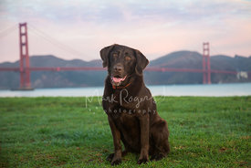 Chocolate Labrador sitting on grass with Golden Gate Bridge in Background