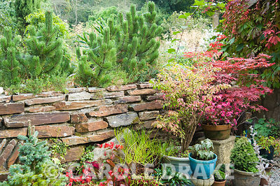 A group of pots are planted with a range of shrubs and tender plants including acers, Euonymus alatus 'Compactus', conifers and begonias with stone wall and small pines behind.