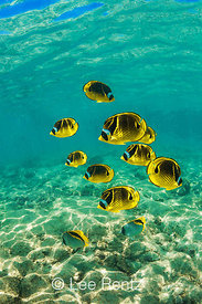 A SCHOOL OF RACCOON BUTTERFLYFISH