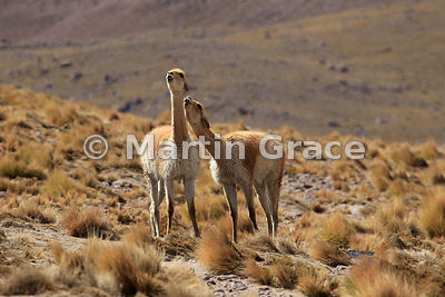 Chilean Animals photos
