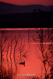 Goose at Sunset