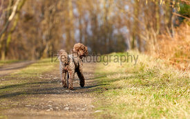 Brown Miniature Poodle looking back while walking along a country lane and having fun at sunset in the countryside