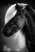 A straw between the teeth, Wild horse in Iceland 2015 © Laurent Baheux