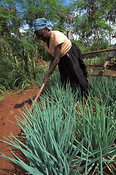 Woman wearing blue headdress cultivating soil in field of Onion crop, Busia, Kenya Africa