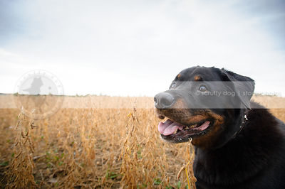 headshot of black and tan rottweiler dog with minimal background