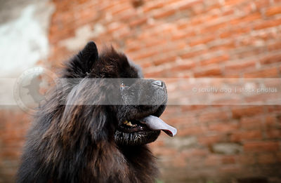 black chow dog panting at brick wall in urban setting