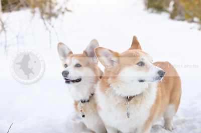 two red and white corgis standing in cold winter snow setting