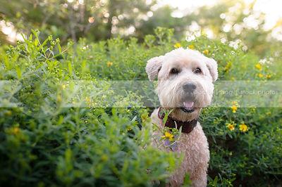 portrait of blond clipped dog in sparkly backlit garden
