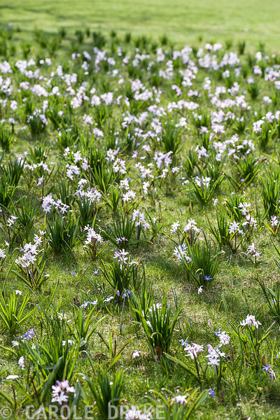 Blue and pink chionodoxa in grass.