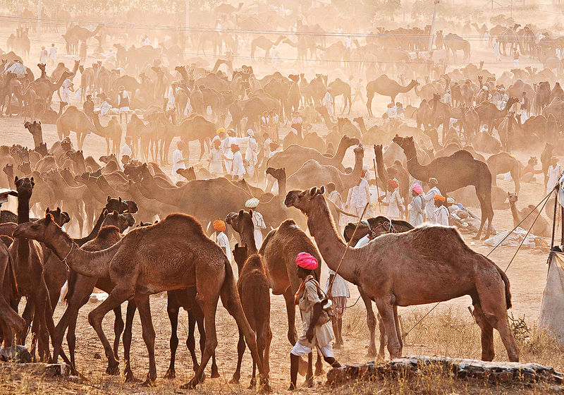 Men from all over Rajasthan gather to be a part of the Pushkar Fair. Here, these camel herders get ready before the commencement of the fair.