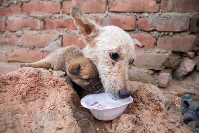 A street dog with severe mange eats milk and biscuits provided by tourists, Pushkar, Rajasthan, India. The dog was later saved by the NGO TOLFA in Pushkar.