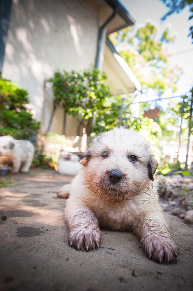small cute dirty white puppy dog staring lying on patio in yard