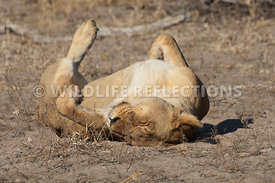 lioness_rolling_horizontal