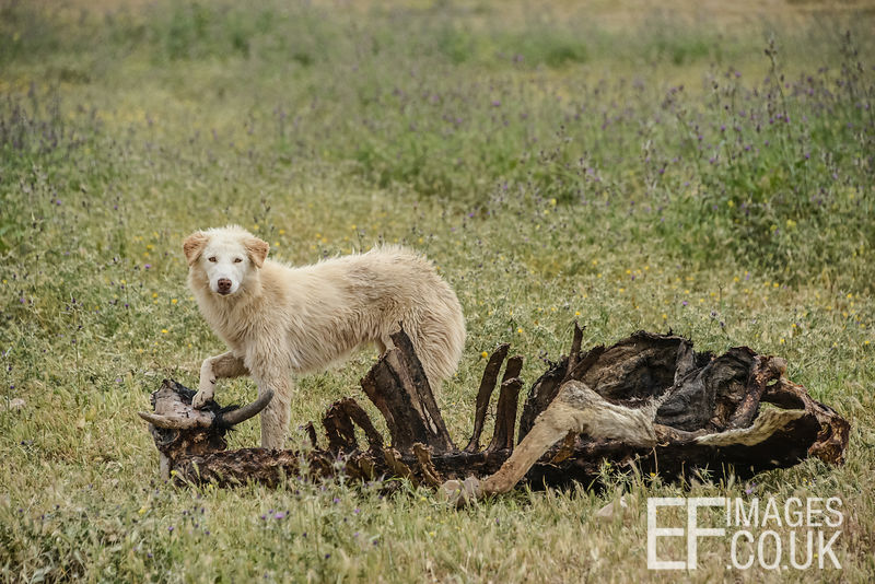 A dog eating a dead cow on the Niniveh Plain, near Mosul, Iraq. 2nd May 2017