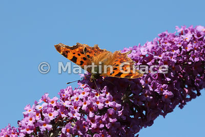 Comma butterfly (Polygonia c-album) feeding on a garden Buddleia davidii, Cumbria, England