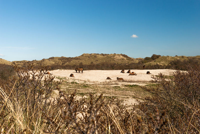 Konik horses in the dunes, behind the buckthorn
