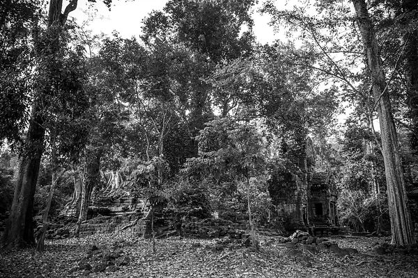 Black and white photo of old ruined temple taken over by trees in the forest at Angkor Wat