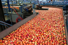 Apple Sorting #7