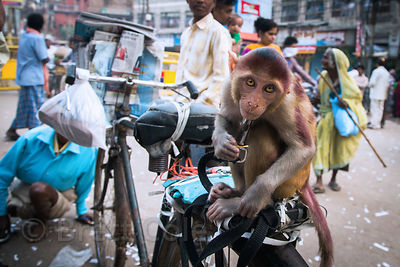 Captive Red Macaque monkey made to perform for Indian tourists, Dashashwamedh Ghat, Varanasi, India