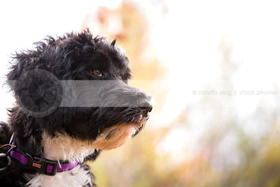 headshot of scruffy puppy with minimal background