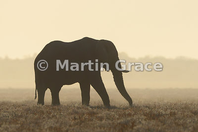 African Elephant (Loxodonta africana) silhouetted just after dawn, Etosha National Park, Namibia