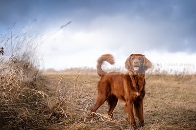 excited red cross breed dog waiting in open field under stormy sky