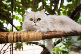 Persian cat lying on bamboo perch looking at camera