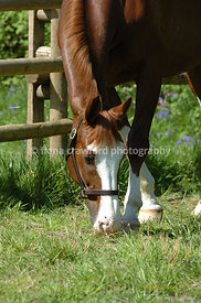 Chestnut warmblood gelding at liberty