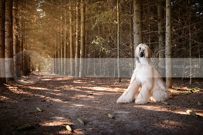 windblown blond and black longhaired dog sitting in pine trees