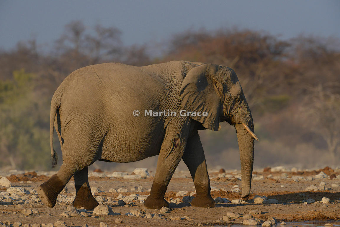 African Elephant (Loxodonta africana) with lower legs still wet from standing in water, Etosha National Park, Namibia