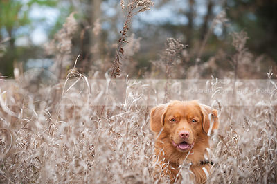 headshot of red toller dog staring hiding in deep dried grasses