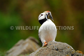 Horned Puffin Lookout 1