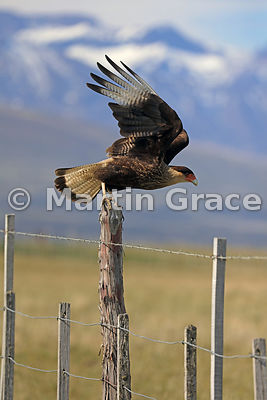 Adult Southern Crested Caracara (Southern Caracara, Carancho) (Caracara plancus) takes off from a fence post, Patagonia, Chile