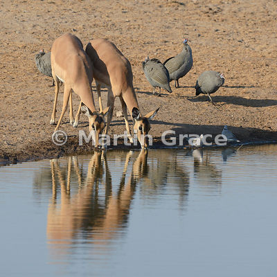 Two female Black-Faced Impala (Aepyceros melampus petersi) drinking from Chudob waterhole, with Helmeted Guineafowl and Cape Turtle-Doves, Etosha National Park, Namibia