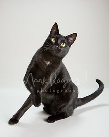 Black Cat Yellow Eyes with Paw Raised against Studio Background