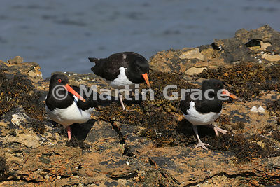 Eurasian Oystercatcher (Haematopus ostralegus) adult (with red eye - left) with two juveniles, Isle of Mull, Scotland