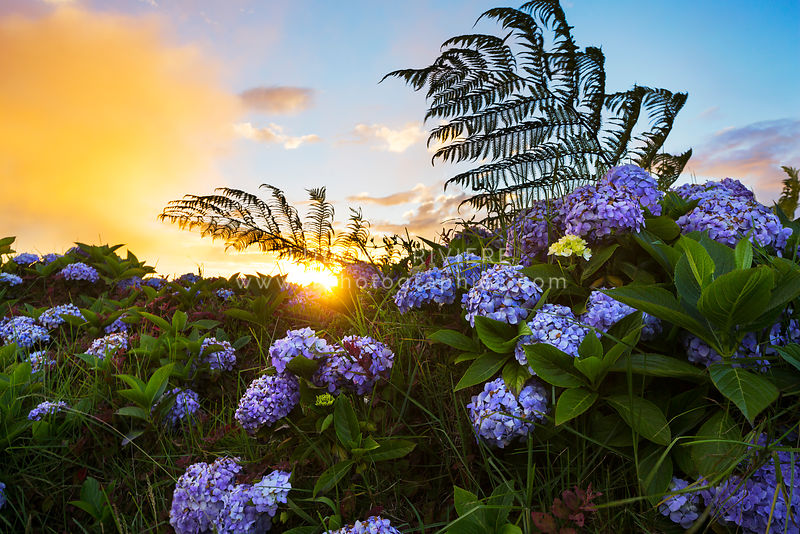 Hydrangea flowers of Reunion Island