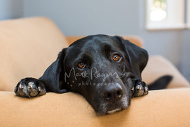 Black lab laying on paws on couch