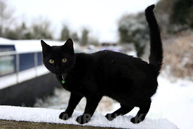 A cat  in the snow at Grand Canal, Hazelhatch, Celbridge, Co. Kildare,.06.01.10.Pic. Maura Hickey/086 8541130..