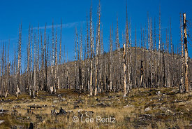 Burned and dead subalpine conifers surrounding Meadows Campground, which was incinerated by the 2003 Needle Creek Fire and then restored and reopened by Okanogan National Forest, North Cascade Mountains, Washington State, USA, October, 2008_WA_6450
