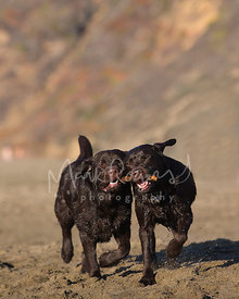 Chocolate Labradors Running Toward Viewer with a Stick in their Mouths