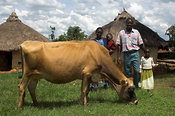 Landscape view of African family with dairy cow in front of hut Kenya Africa